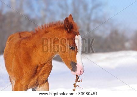 Little Arabian Chestnut Foal In A Winter