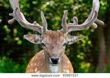 The fallow deer