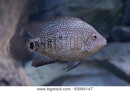 Texas Cichlid (herichthys Cyanoguttatus)