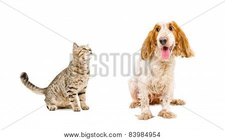 Curious cat Scottish Straight and dog Russian spaniel