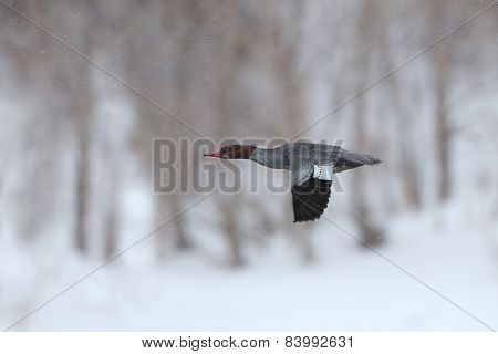 Female Red-breasted Merganser In Flight On A Snowy Day