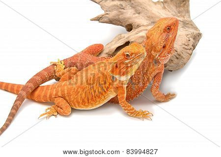 Bearded Dragon Looking Up