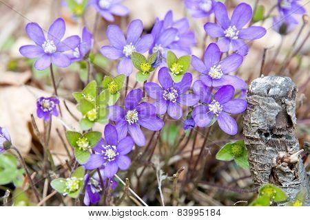 Blue wildflower Hepatica