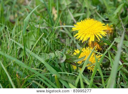 Dandelion flower weed in green grass