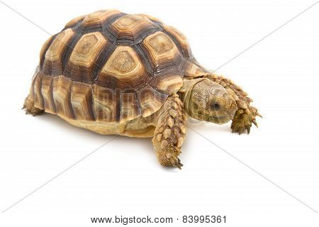 Leopard Tortoise (geochelone Pardalis) Isolated On White Background.