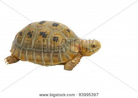 Elogated Tortoise ( Indotestudo Elongata), Yellow Turtle Stand On White Background