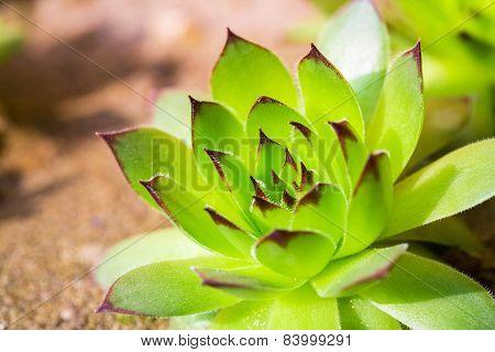Green Sempervivum Plant