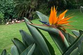 picture of bird paradise  - Bird of Paradise  - JPG