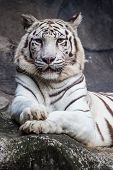 foto of white tiger cub  - White bengal tiger lying relax and watching on cliff - JPG