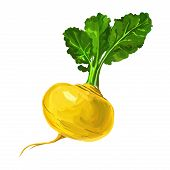 foto of turnips  - Turnip vector illustration  hand drawn  painted watercolor - JPG