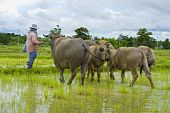 pic of female buffalo  - asian female farmer taking care of a herd of water buffalos and cows - JPG