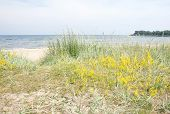 picture of vegetation  - Sandy beach and vegetation yellow flowers by the Baltic sea in Ahus Sweden - JPG
