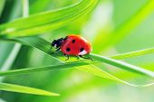 image of ladybug  - Ladybug running along on blade of green grass - JPG