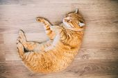 stock photo of orange kitten  - Peaceful Orange Red Tabby Cat Male Kitten Curled Up Sleeping In His Bed On Laminate Floor - JPG