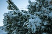 stock photo of pine-needle  - Green pine needles covered by frozen snow - JPG