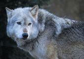 pic of white wolf  - Closeup portrait of a beautiful grey wolf - JPG