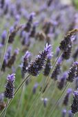 foto of lavender plant  - Pretty lavender plants growing in the garden - JPG