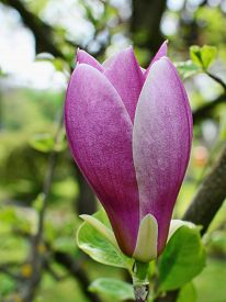 stock photo of saucer magnolia  - Pink magnolia flower bud on tree branches - JPG