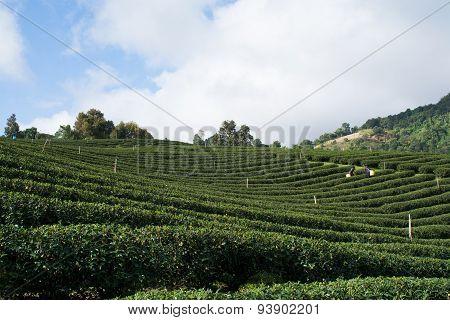 Tea Farm In Chiang Rai Province, Thailand.