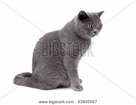 Gray Cat With Yellow Eyes Close Up On A White Background