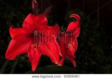 Backlit Amaryllis Blooms