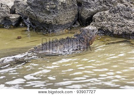 Marine Iguana Swimming In A Coastal Lagoon