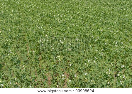 Pea field at flowering time