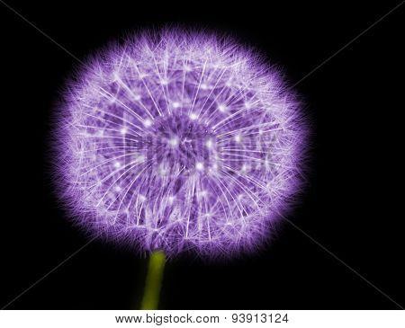 dandelion in purple on black