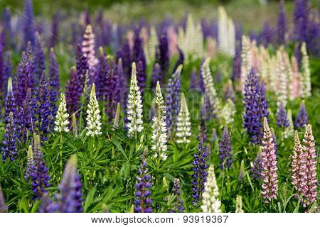 Pink, violet, lilac, blue and white Lupine