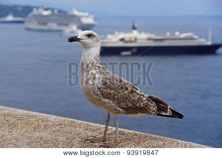 Sea Gull  In Front Of Cruise Ships