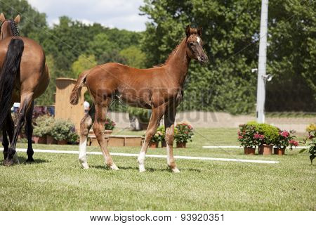 Brown Foal Auction
