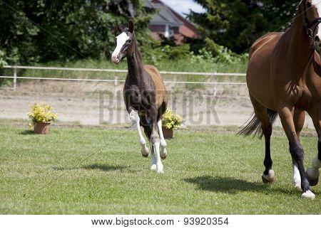 Foal Sporthorse