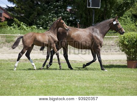 Mare With Foal At Foot