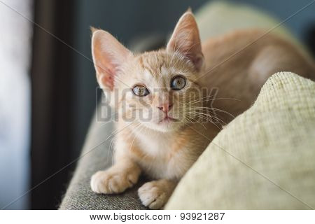 Little Orange Cat On The Top Of A Couch