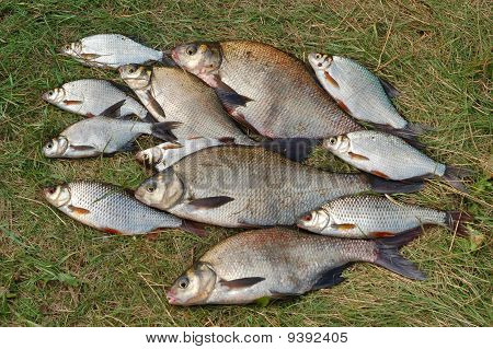 Fish On Green Grass