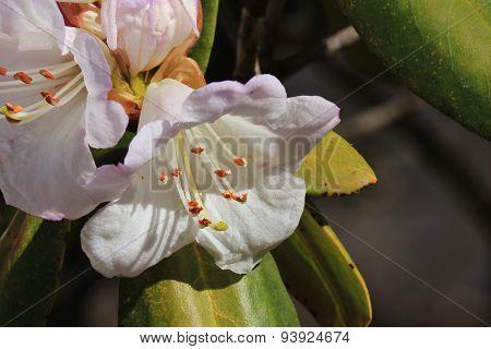 Rhododendron Bloom, Wildflower Growing In The Everest Region