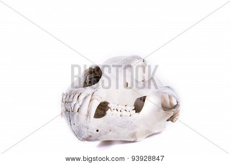 bear skull isolated