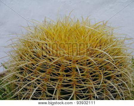 The Golden ball or barrel cactus