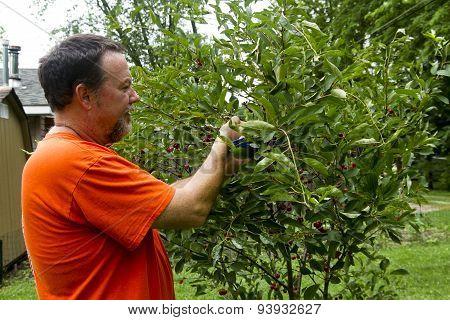 Organic Farmer Picking Sweet Cherries