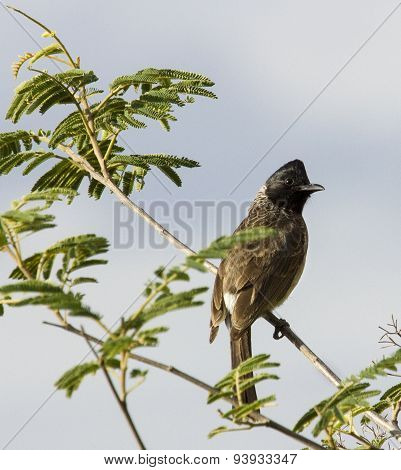 White vented bulbul