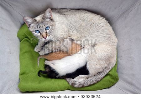 Siamese Mother Cat Nursing Kittens
