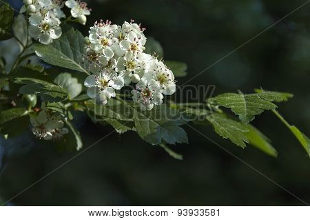 Hawthorn or Crataegus monogyna branch with flowers  of white petals