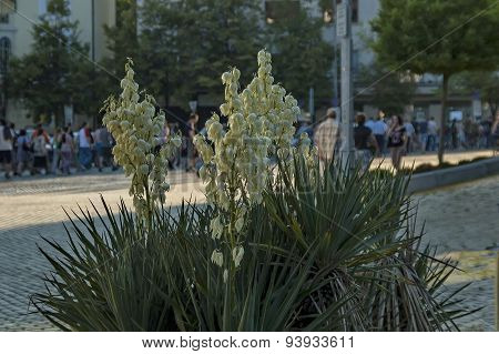 Century-plant  or Agave americana flower with white bloom