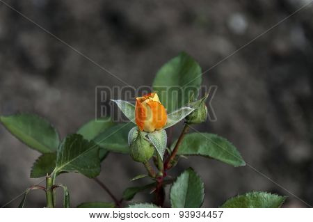Beauty rose-bush with fragrant bud