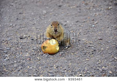 Hungry gopher with an apple