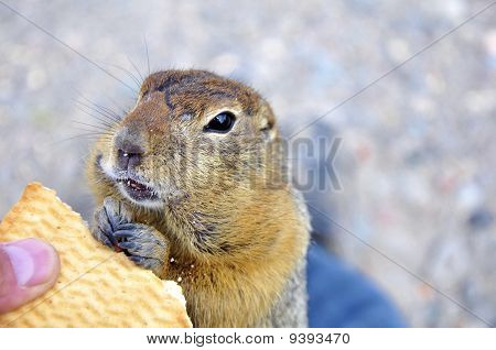 The Kamchatka Gopher With Cookies