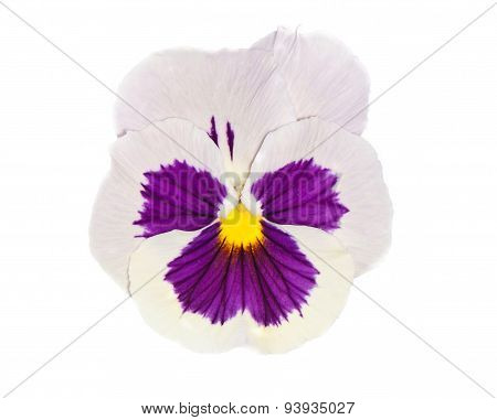 Viola With Purple Cente