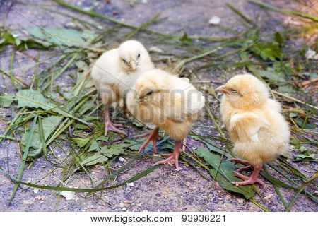 Group Of Babies Chickens
