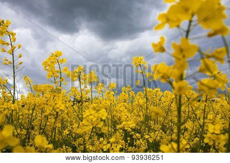 Summer Storm Clouds Above A Rape Seed Field