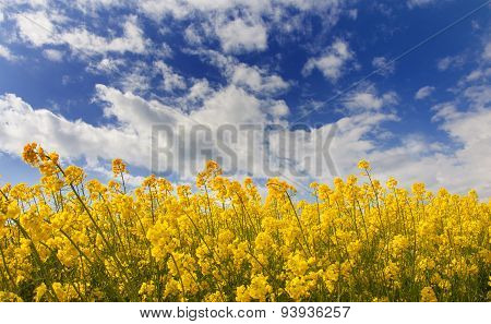 Field Of Rapeseed With Cloud